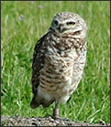 Mission College burrowing owl on one legged perch.